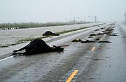 Dead cows lie on highway 35, killed in Hurricane Harvey near Fulton, Texas August 26, 2017. REUTERS/Rick Wilking