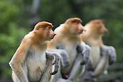 Proboscis Monkey<br /> Nasalis larvatus<br /> Males<br /> Sabah, Malaysia