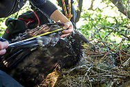 White Tailed Eagle (Haliaeetus albicilla) pair of chicks in nest being ringed by ringers. Biological measurements being taken, wing size