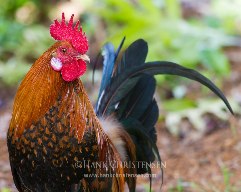 A Red Junglefowl stands still long enough for a portrait, Kauai, Hawaii.  The Red Junglefowl is Hawaii's first introduced species. The colonizing Polynesians brought it to Hawaii over 700 years ago.