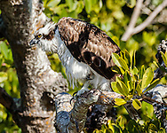 Osprey perched in mangrove forest, one foot up, looking forward intently,  © 2015 David A. Ponton