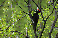 Black Woodpecker (Dryocopus martius), the Carpathians; Carpathian Mountains; Bieszczady Mountains; Poland