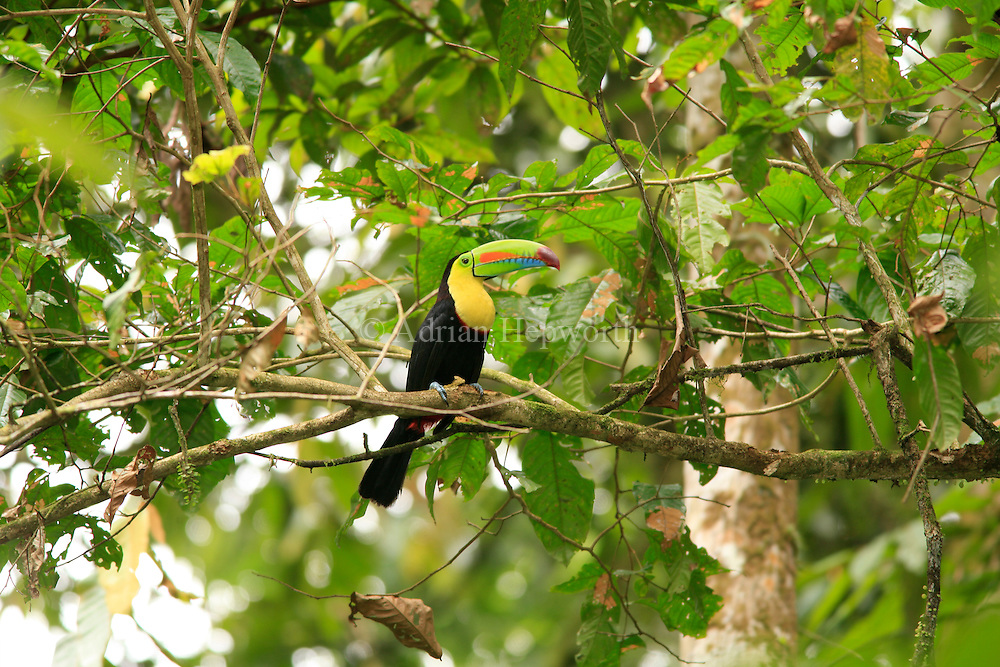 Keel-billed Toucan (Ramphastos sulfuratus). Lowland rainforest, La Selva Biological Station, Sarapiquí, Caribbean slope, Costa Rica.