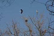 Herons close to a nest at Zelata reserve, Bereguardo, Pavia, February...Aironi cenerini (Ardea cinerea) vicino ad un nido alla garzaia nella riserva della Zelata, Bereguardo, Pavia, febbraio.