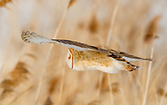 Lightly wing-loaded barn owl shows slight feather flex in flight, © 2013 David A. Ponton