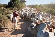 Pantaneiros (traditional Pantanal cowboy) herding Nelore zebu beef cattle.