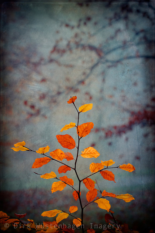Close-up of colourful fall leaves on a beech tree twig - texturized photograph