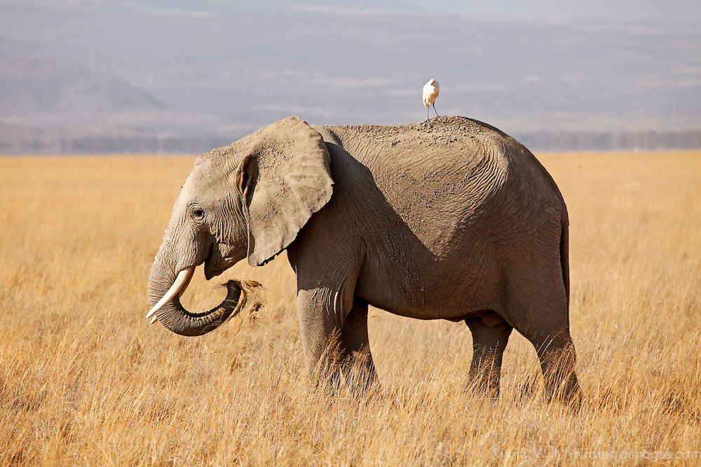 Africa, Kenya, Amboseli. Elephant eating grass in Amboseli.
