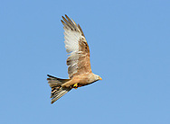 Red Kite Milvus milvus - pale colouration. W 145-165cm. Graceful raptor, identified in flight by deeply forked tail (twisted to aid flight control) and long, bowed wings. Seldom spends much time on ground but sometimes perches in trees. Sexes are similar. Adult has pale grey head but otherwise mainly reddish brown plumage. Eye, base of bill and legs are yellow. In flight from below, note reddish brown body and underwing coverts, silvery grey tail and patch on primaries, and otherwise dark wings. From above, tail appears red while reddish brown back and wing coverts contrast with dark flight feathers. Juvenile resembles dull adult with pale margins to wing covert feathers. Voice Utters shrill calls in flight, like somebody whistling for their dog. Status As recently as late 1980's, confined to central Wales. Re-introduction programmes mean it is now very locally common in England and Scotland as well.
