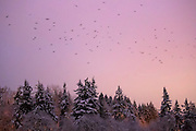 A murder of American crows fly over snow-covered trees along the Sammamish River in Bothell, Washington. During the winter months, 15,000 crows roost each night in the area.