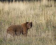 Black bear, Ursus americanus in the Kit Carson National Forest, Valle Vidal, New Mexico