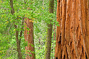 Giant Sequoias (Sequoiadendron giganteum), Trail of 100 Giants, Giant Sequoia National Monument, California