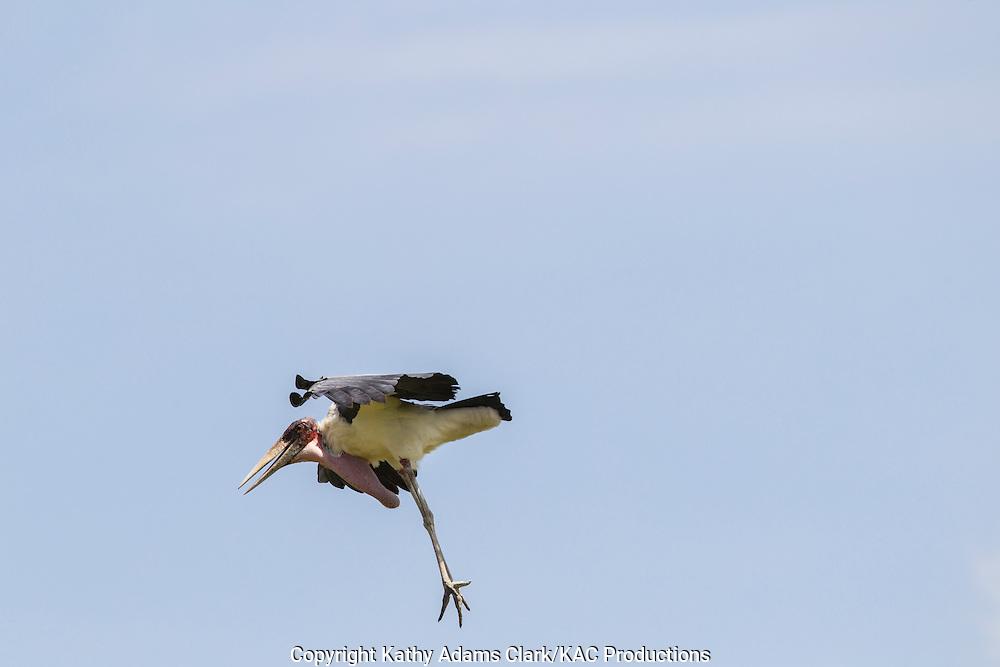 Leptoptilos crumeniferus; Marabou Stork, Serengeti, Tanzania, Africa.