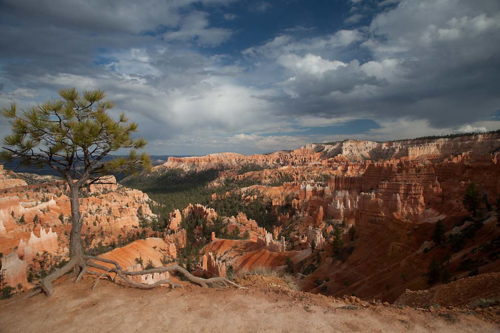Landscape views of Bryce Canyon National Park.  A lone tree struggles to survive in the harsh conditions of the canyon, its roots exposed as the sandstone is slowly eroded by wind and rain.