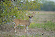 Texas whitetail buck during the autumn rut