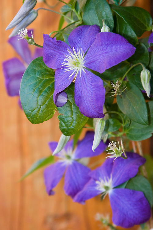 Vertical of clematis blooming against adobe wall