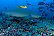 sicklefin lemon shark, Negaprion acutidens, accompanied by juvenile golden trevallies, Gnathanodon speciosus, Shark Reef Marine Reserve, Beqa Passage, Viti Levu, Fiji ( South Pacific Ocean )