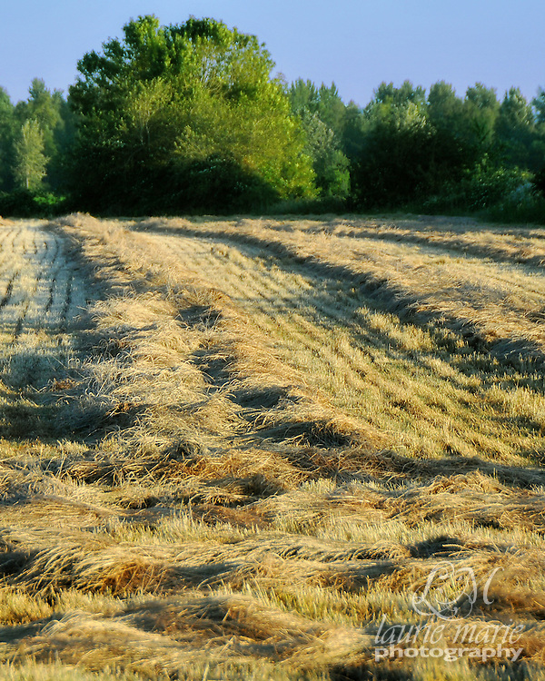The rows of cut hay in this field are ready to be baled. Vertical crop, there is also a horizontal version.