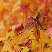 &quot;Sweetgum in Fall&quot;<br />