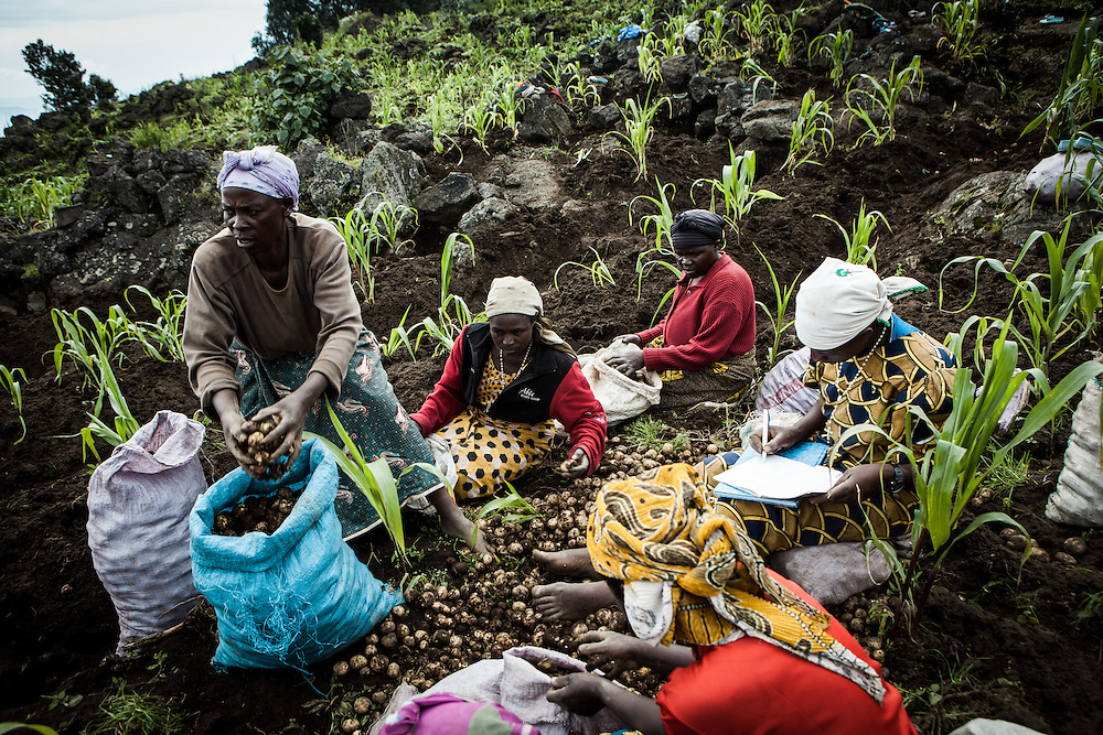 Women who form part of the co-operative Indatwailumurimu, harvest potatoes close to their village. Shingiro District, Rwanda. 25th March 2011