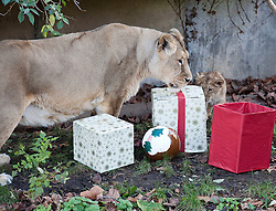 © Licensed to London News Pictures. 15/12/2011. LONDON, UK. One of London Zoo's three month old lion cubs, and their mother Abi, investigate Christmas presents left in their enclosure by keepers. The lions London of London Zoo get into the Christmas Spirit after keepers delivered some early presents to their enclosure. Photo credit: Matt Cetti-Roberts/LNP