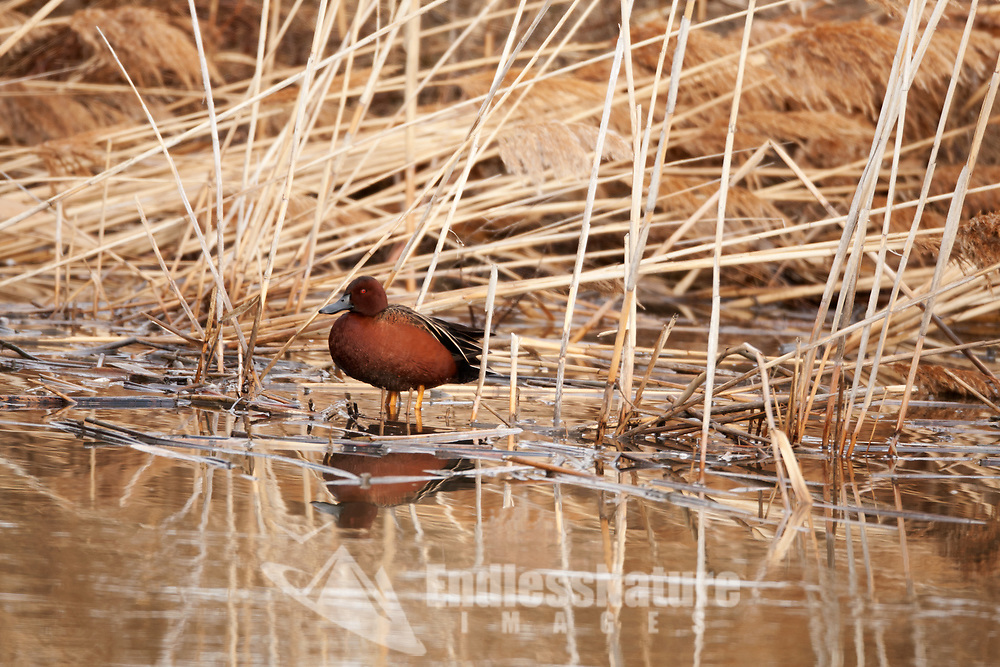 It is the end of March in northern Utah and the Cinnamon Teal have made their way back to local marshes for the start of the nesting season.