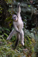 Young Yunnan, or Black Snub-nosed monkey, Rhinopithecus bieti,  hanging from a branch from a tree in Ta Cheng Nature reserve, Yunnan, China
