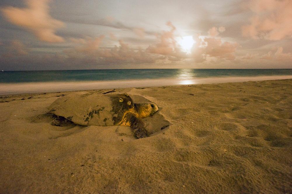Female Loggerhead Sea Turtle (Caretta caretta) nesting in Juno Beach; FL. Southeast Florida is one of the most important nesting and foraging locations for Loggerheads worldwide.