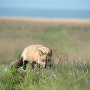 Red Fox (Vulpes vulpes) at Cattle Point on San Juan Island, Washington. Photo by William Drumm.