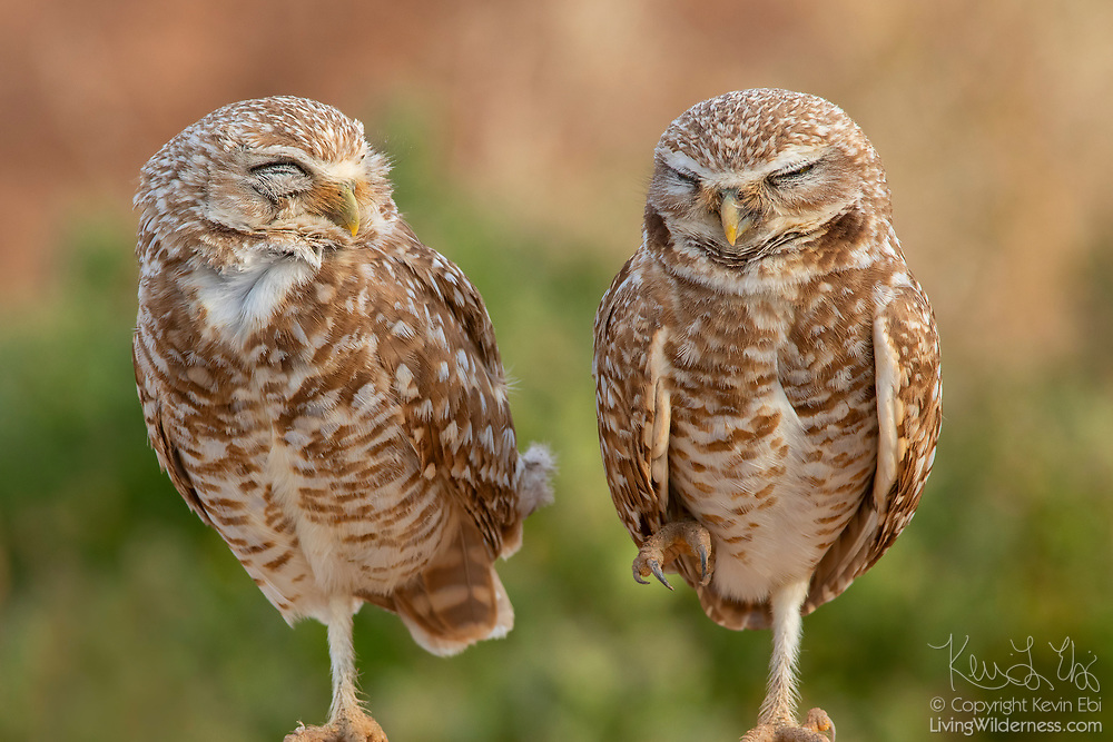 A pair of burrowing owls (Athene cunicularia) rest together in Zanjero Park, Gilbert, Arizona. The population of burrowing owls has been declining. Zanjero Park features a man-made burrowing owl habitat with burrows manufactured from PVC pipe.