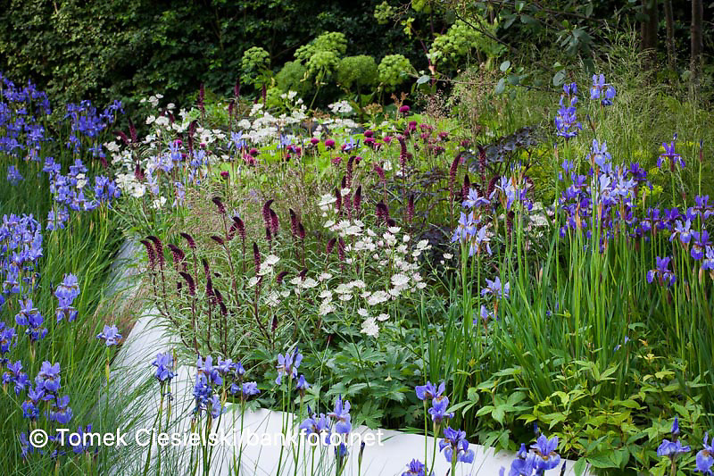 Flowerbed Lysimachia 'Beaujolais' , iris sibirica and white astrantia