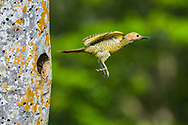 A female Fernandina's Flicker (Colaptes fernandinae) flies from the nest.  The small population of 600–800 birds makes it one of the most endangered species of woodpecker in the world. (Cuba)