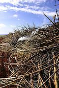 Burning Sugar Cane, Gay and Robinson Plantation, Kauai, Hawaii<br />