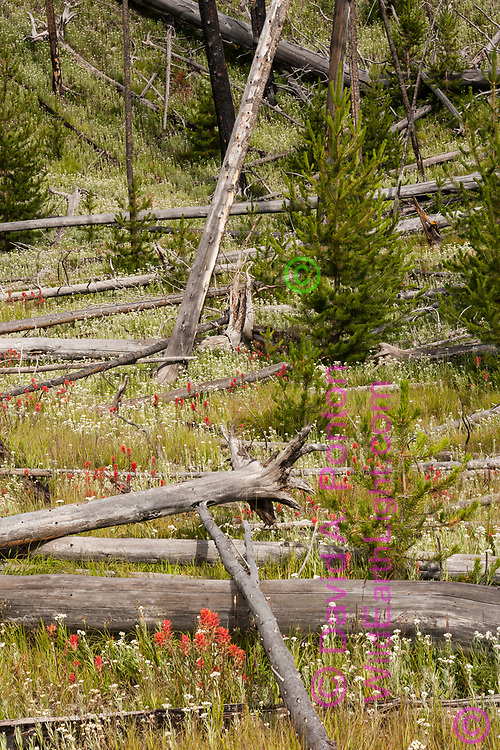 Wildflowers and regrowth pine trees grow prolifically among logs 17 years after the 1988 wildfires in Yellowstone National Park, © 2005 David A. Ponton