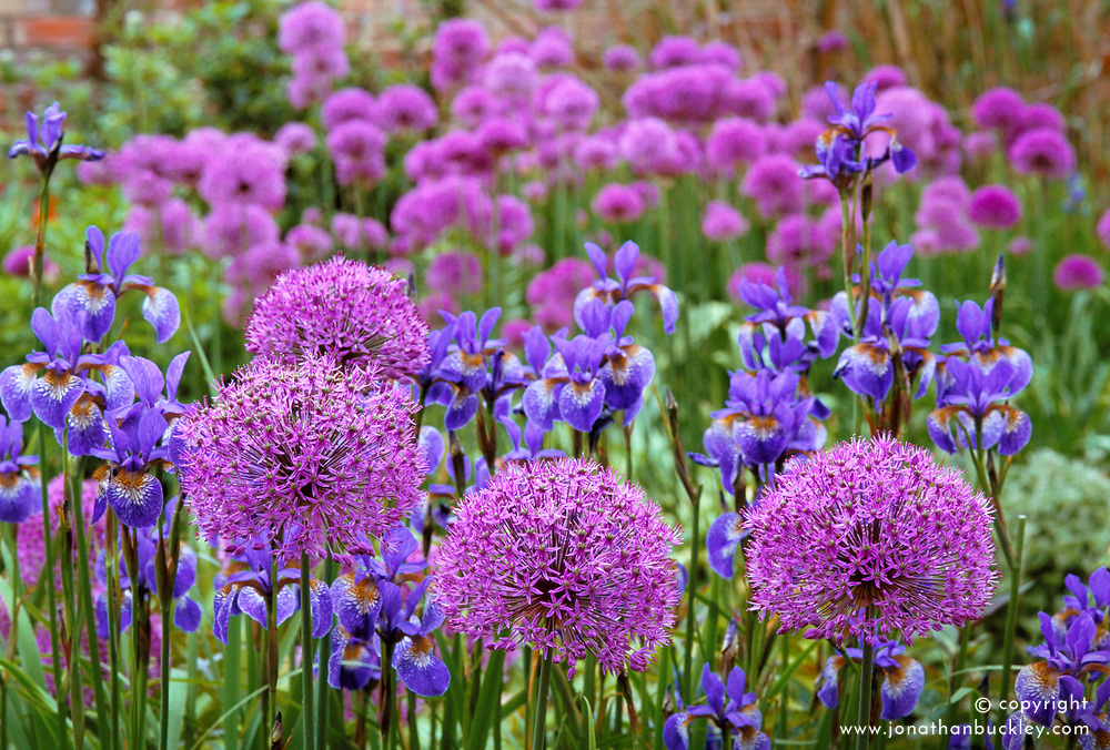 Allium aflatunense with Iris sibirica 'Tropic Night' in the oast garden