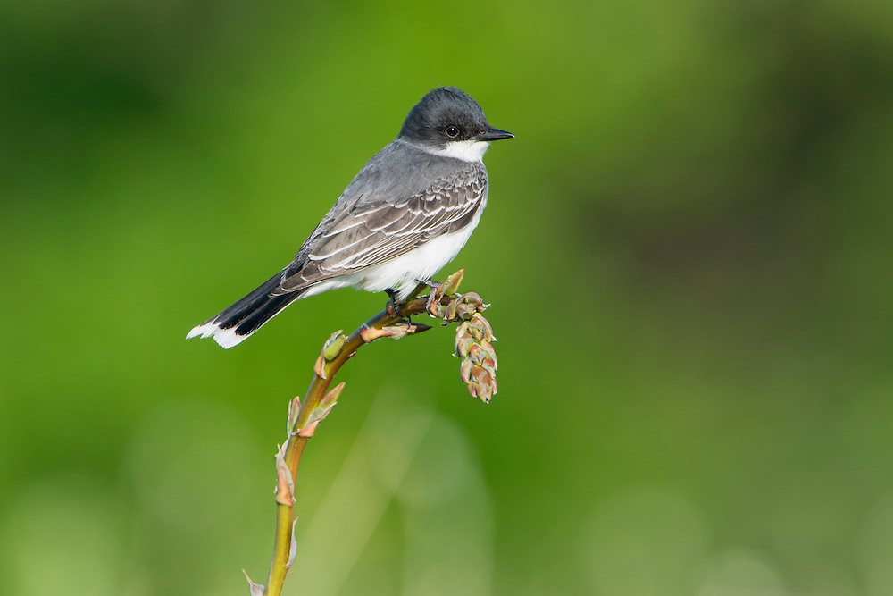 An eastern kingbird (Tyrannus tyrannus) sits perched on a blooming yucca at White Rock Lake, Dallas, Texas
