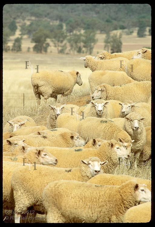 Sheep congregate on dusty knoll in blistering heat of summer day on farm near Coolamon; (v) NSW. Australia