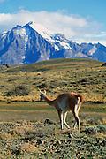 Guanacos, Parque nacional Torres Del Paine, Patagonia, Chile<br />