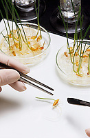 Person picking up bean sprout with tweezers close-up of bean sprout