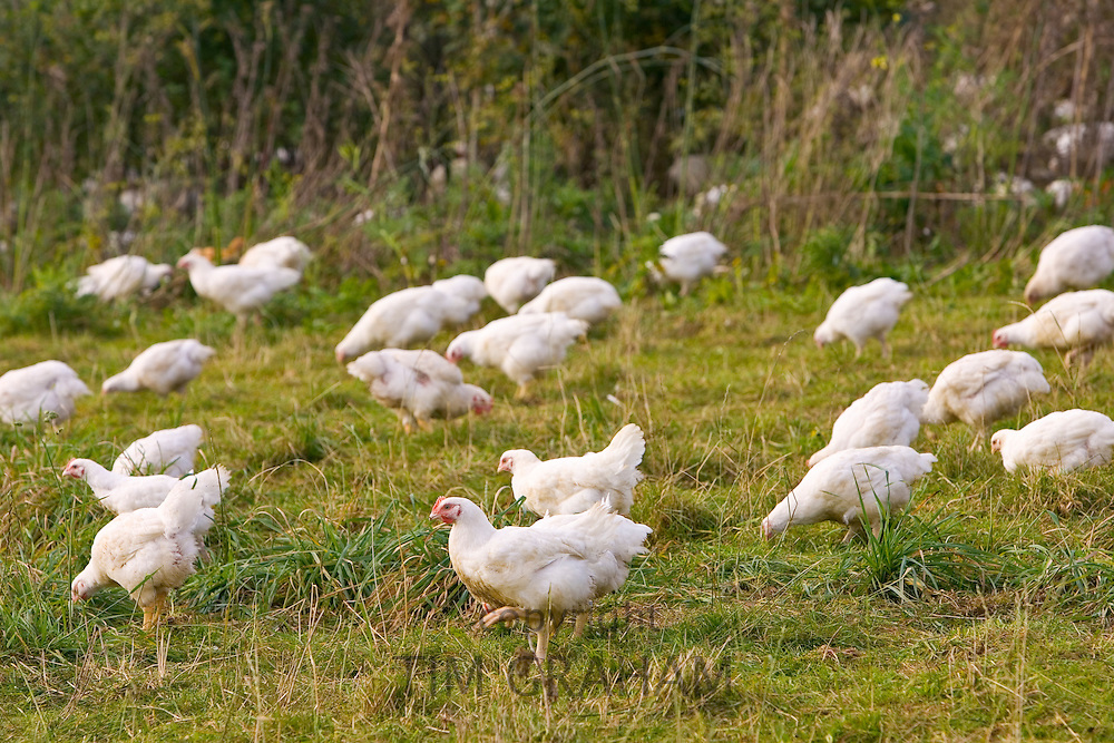 Free-range chickens of breed  Isa 257 roam freely at Sheepdrove Organic Farm , Lambourn, England