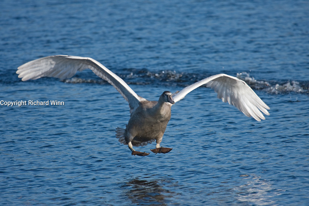 Juvenile Mute Swan landing at Shapwick Heath