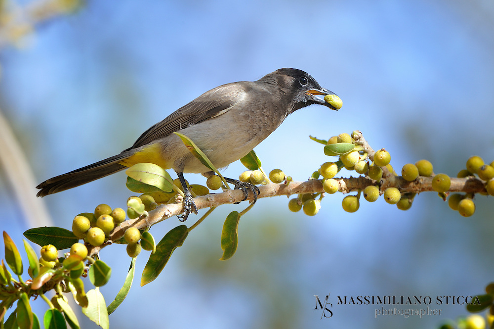 The Common Bulbul (Pycnonotus barbatus) is a member of the bulbul family of passerine birds. It is a ubiquitous resident breeder throughout Africa. Other names include Black-eyed Bulbul and Common Garden Bulbul.