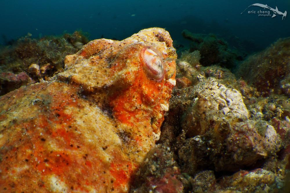 Reptilian snake eel (Brachysomophis henshawi). Lembeh Strait, Indonesia. echeng100309_0254398