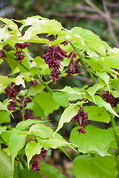Leycesteria formosa Golden Lanterns = 'Notbruce' AGM. Himalayan honeysuckle