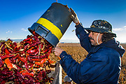 08 DECEMBER 2004 - MARANA, AZ: Migrant farm workers harvest Sonora chilies on the Clark Farm in Marana, Arizona. Tom Clark planted 50 acres of chilies on his cotton farm for the first time this year and said he expects to net three times per acre what he would have had he planted cotton. This is the first time chilies have been grown around Marana, which is the heart of the Arizona cotton industry. The chilies will be processed in Las Cruces, NM, and turned into paprika powder, food dye and lipstick. It will take a crew of 45 about 10 days to harvest the 50 acres of chilies. PHOTO BY JACK KURTZ  others are Luiz Medrano - picking - and Lito Hernandez - on trailer -