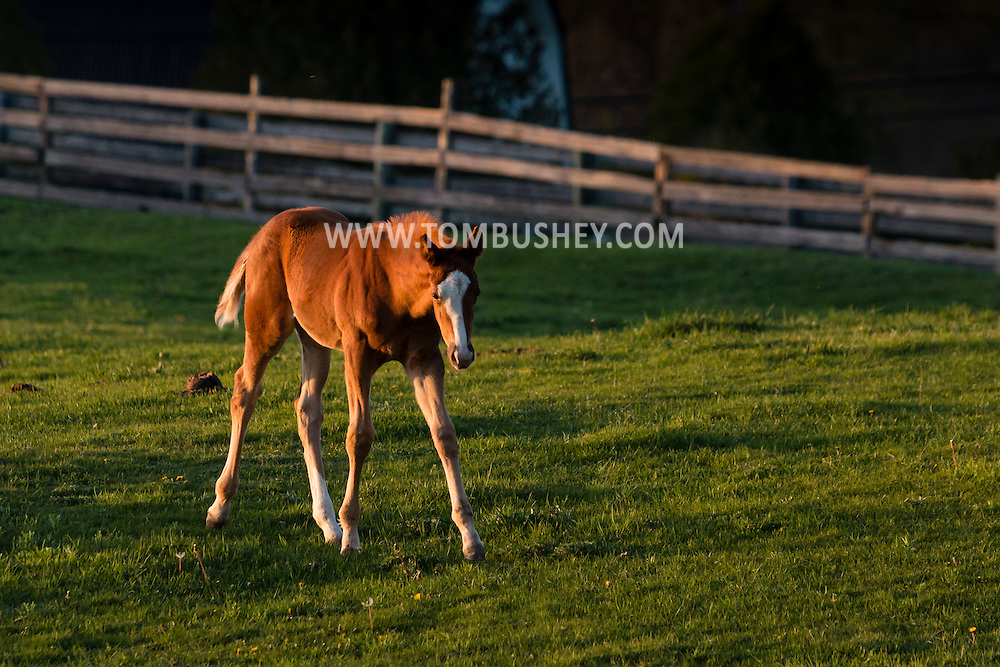 Otisville, New York -A thoroughbred mare and foal stand together in a field at Hidden Lake Farm on April 27, 2016.