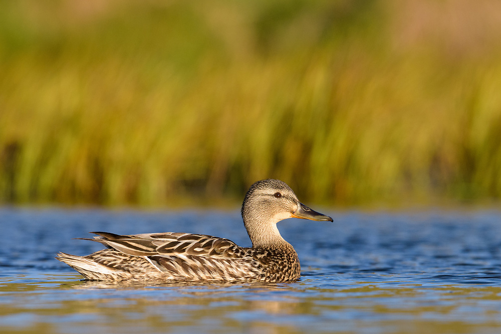 Female mallard duck, Iceland