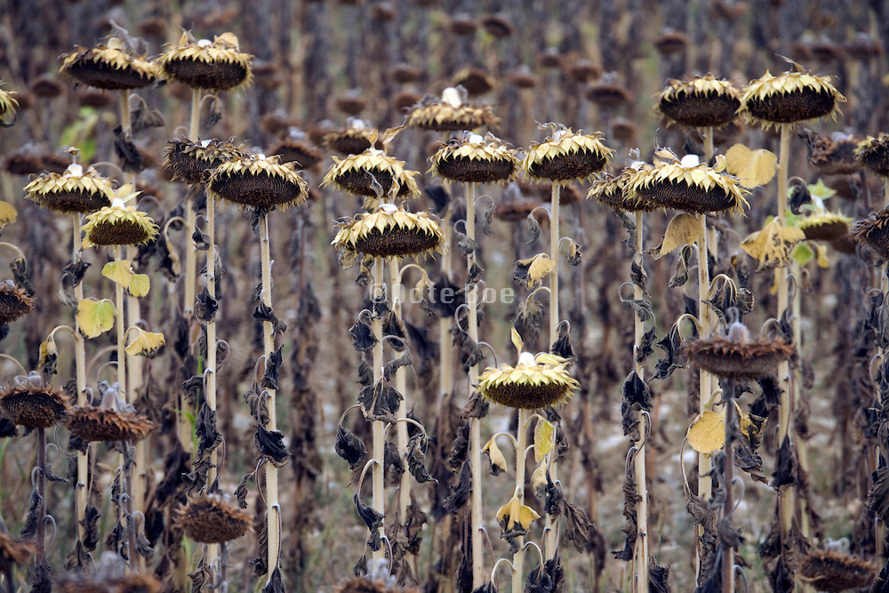 ripening sunflowers in the field