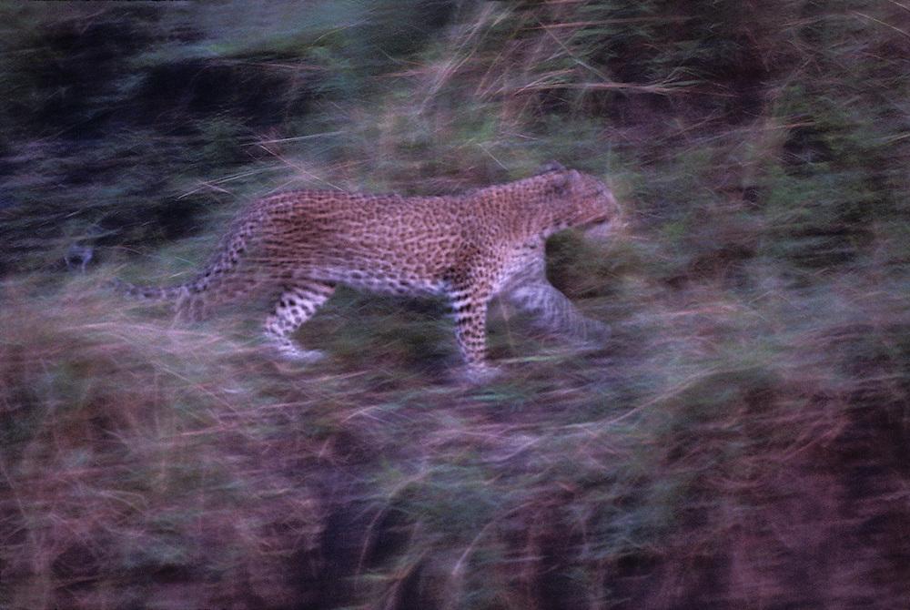 Kenya, Masai Mara Game Reserve, Blurred image of Adult Female Leopard (Panthera pardus) walking at dusk along Telek River