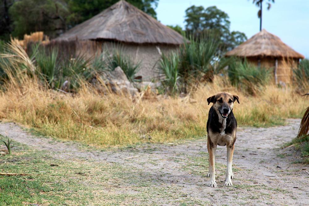 Africa, Botswana, Okavango Delta. Dog of an Okavango Delta village.